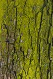 La struttura della corteccia di albero Immagini Stock Libere da Diritti