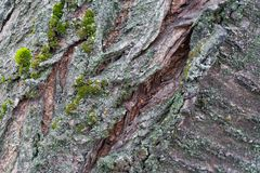 La struttura della corteccia di albero Alberi della Russia centrale Fotografia Stock