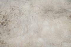 La struttura della pancia grigia di Fox della lana immagine stock libera da diritti
