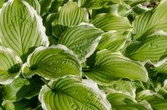 La struttura delle foglie verdi Immagini Stock