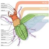 La struttura dello scarabeo Immagine Stock