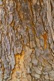 La struttura di mogano gialla della corteccia Fotografia Stock Libera da Diritti