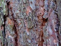 La struttura di vecchia corteccia del pino immagine stock