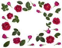 La struttura floreale fatta della rosa di rosa fiorisce, germoglia e foglie isolate su fondo bianco Disposizione piana fotografie stock