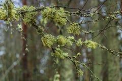 La Suède - 1er avril 2017 : Branches dans une forêt en Suède Photos libres de droits