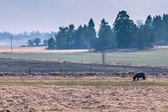 La Suède - 1er avril 2017 : Poney dans la région sauvage de la Suède Photographie stock libre de droits