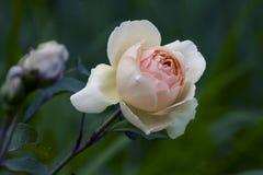 La suavidad beige subió Foto de archivo libre de regalías