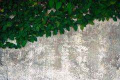 La subida del velcro en el muro de cemento viejo Imagenes de archivo