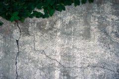 La subida del velcro en el muro de cemento viejo Imagen de archivo libre de regalías