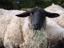 la Suffolk delle pecore Immagine Stock Libera da Diritti