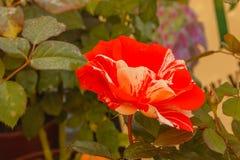 La supercherie est une rose fantastique, une variété américaine, fortement attrayantes et le cadeau parfait pour quelque chose un photographie stock
