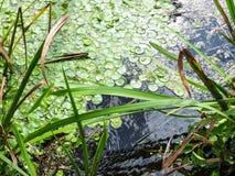 La superficie del lago con le alghe verdi e l'erba del mare fotografie stock