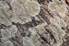 La superficie della corteccia Immagini Stock Libere da Diritti