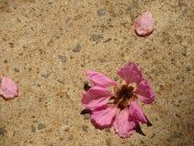 La superficie di calcestruzzo di Brown consiste dei fiori rosa fotografia stock libera da diritti