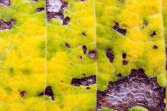La surface de la feuille de l'arbre, macro de feuille, détail, couleur, clarté, lignes, ombrageant Photographie stock libre de droits