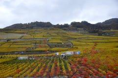 La Svizzera: Il paesaggio Lavaux del patrimonio mondiale con il wineya fotografia stock