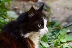 La tête d'un blanc noir a repéré le chat pelucheux en végétation verte image libre de droits