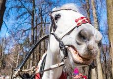 La tête d'un cheval dans un harnais en gros plan photographie stock