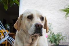 La tête d'un chien de Labrador photographie stock libre de droits