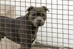 La tête d'un chien de la race de combat pitbulterier Image libre de droits