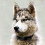 La tête d'un chien de traîneau de chien Image libre de droits