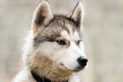 La tête d'un chien de traîneau de chien Photo libre de droits