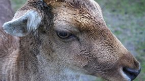La tête d'un mâle de cerfs communs affrichés banque de vidéos
