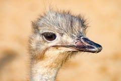 La tête d'un oiseau 1 d'émeu Photos libres de droits