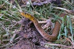 La tête d'un serpent sur l'herbe Image stock