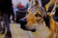 La tête d'un Wolfdog tchécoslovaque images libres de droits