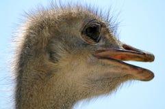 La tête d'une autruche Portrait sur un fond de ciel bleu Photographie stock