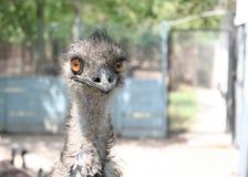 La tête d'une autruche regardant directement dans l'appareil-photo Photo libre de droits