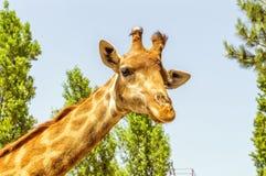 La tête d'une girafe Image stock