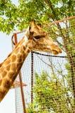 La tête d'une girafe Photo libre de droits