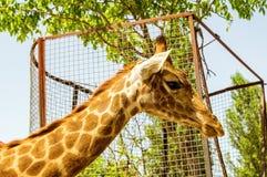La tête d'une girafe Photographie stock
