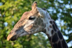 La tête d'une girafe Photos stock