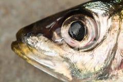 La t?te d'une sardine fra?che image libre de droits