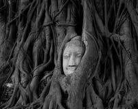 La tête de Bouddha dans l'arbre Photo libre de droits