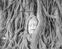 La tête de Bouddha dans l'arbre Images stock