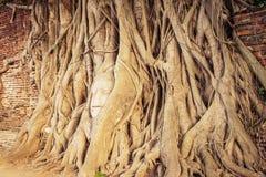 la tête de Bouddha populaire dans l'arbre Image libre de droits