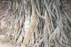 la tête de Bouddha populaire dans l'arbre Images libres de droits