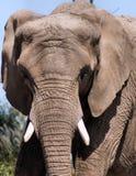 La tête de l'éléphant illustration libre de droits