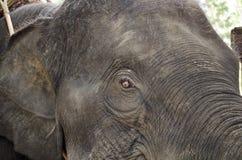 La tête de l'éléphant Image stock