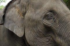 La tête de l'éléphant Photos stock