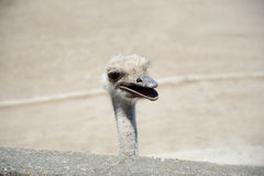 La tête de l'autruche Photos stock