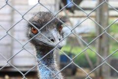 La tête de la fin d'autruche derrière la barrière de fer en captivité Images stock