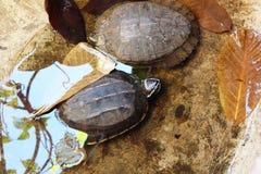 La tête de la tortue (foyer sélectionné) émerge de l'esprit de bassin de l'eau Image stock