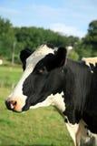 La tête de la vache Images libres de droits