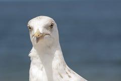 La tête de mouettes contre les eaux de mer baltique Photos libres de droits