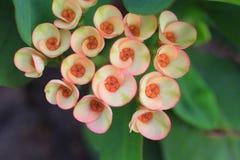 La tête des épines fleurit [milii Desmoul d'euphorbe] Photo stock